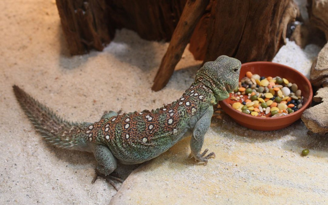 Do you know what a Uromastyx is?