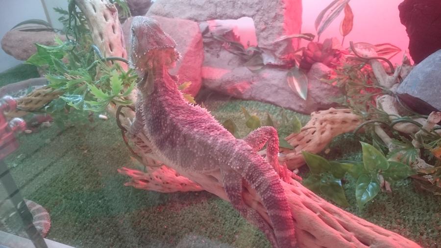 Beared Dragon
