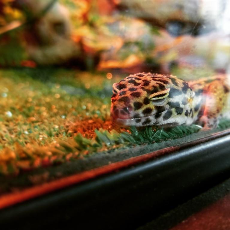 Leopard Gecko - $49.99
