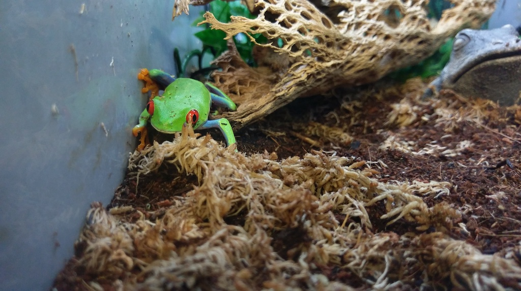 Red Eyed Tree Frog - $49.99